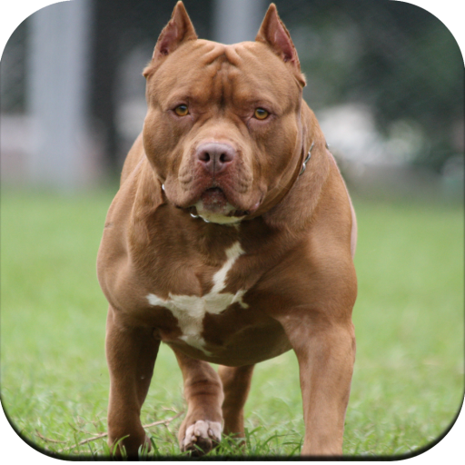 Pitbull Dog Wallpaper 4K MOD APK 1.07